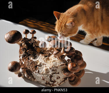 The Shiitake (Lentinula edodes) is an edible mushroom native to East Asia, which is cultivated and consumed in many Asian countries, as well as being  - Stock Photo