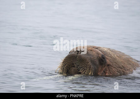 A beautiful Walrus shot in the polar arctic Circle. Svalbard - Norway - Stock Photo