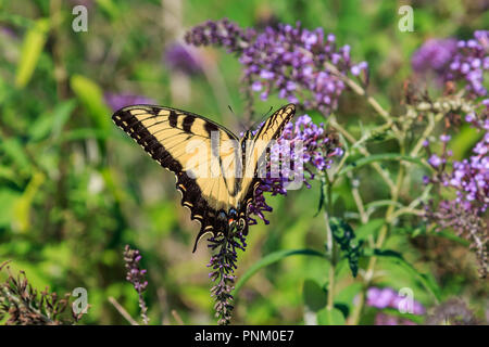 Eastern Tiger Swallowtail (Papilio glaucus) in a flwer garden