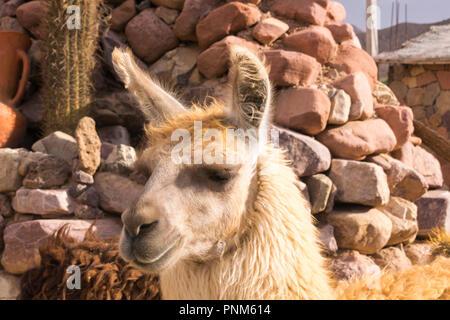 Llama (Lama glama) in Purmamarca, Jujuy, Argentina - Stock Photo