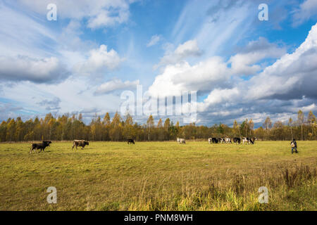 Small herd of cows on autumn field in a Sunny day. - Stock Photo