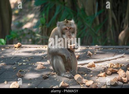Crab-eating macaque (Macaca fascicularis), eats sweet potato, monkey forest of Ubud, Sacred Monkey Forest Sanctuary, Padangtegal - Stock Photo