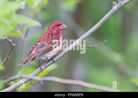 Purple Finch, Carpodacus purpureus