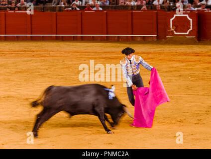 Racing bull with matador, torero or toureiro in traditional clothing, first part, Tercio de varas, bullfighting, bullring Plaza - Stock Photo