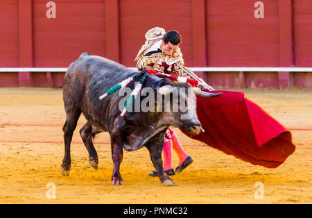 Bull with matador, bullfighting, bullring Plaza de Toros de la Real Maestranza de Caballería de Sevilla, Seville, Andalusia - Stock Photo