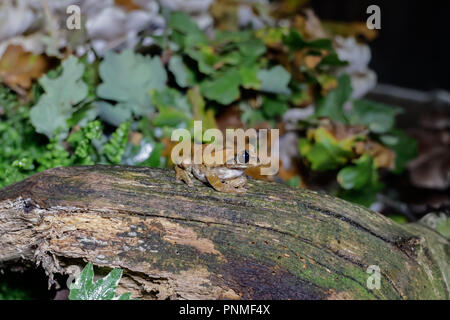 A Tree frog on a log up close - Stock Photo