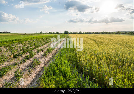 Young green wheat on beautiful grain fields and potato that grows near. The wheat ears are croaking. Agriculture. Cultivation of a natural product. - Stock Photo