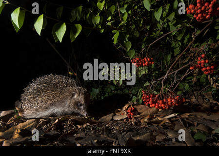 European Hedgehog Erinaceus europaeus in garden at night Holt Norfolk - Stock Photo