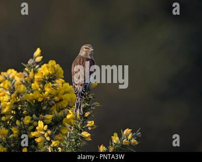 Common Linnet Linaria cannabina female North Norfolk spring