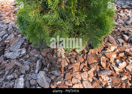 A small fir on the background of soil covered with bark of a tree - Stock Photo