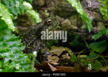 Common Toad - Bufo bufo  Sitting up - Stock Photo