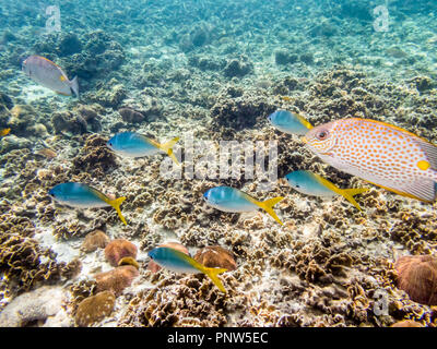 Underwater photos of group Yellowback Fusilier or Caesio Xanthonota is a beautiful sea fish swimming above the coral reefs at Koh Nang Yuan island in  - Stock Photo