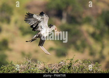 Birds of prey, Secretary bird. landing on nestSagittarius serpentarus) - Stock Photo