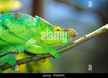 Madagascar. Close-up of green Chameleon on branch of tree. - Stock Photo