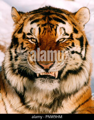 Outdoor close up portrait of fierce growling Siberian Tiger. Russia. - Stock Photo
