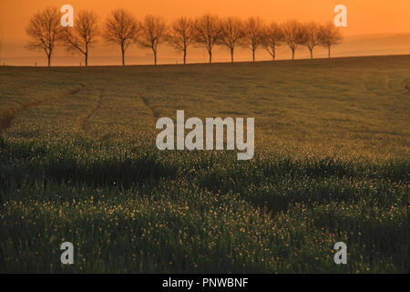 A group of lined up trees during early sunrise with mist in the background. - Stock Photo