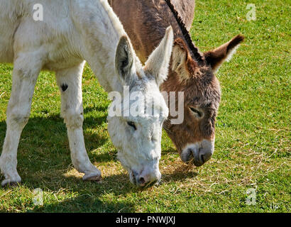 Two donkeys grazing side by side - Stock Photo