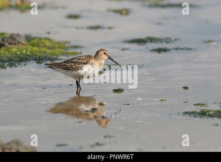 Juvenile Dunlin (Calidris alpina) feeding in shallow water. - Stock Photo