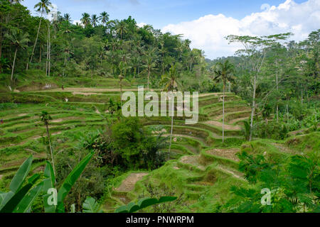 Tegallalang rice terraces near Ubud in central Bali, Indonesia - Stock Photo