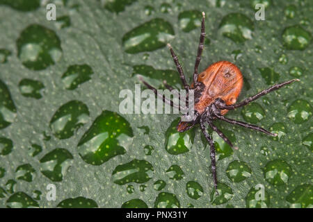 Deer tick underside on wet leaf detail. Ixodes ricinus. Close-up of a dangerous parasitic insect turned upside down. Green background with water drops. - Stock Photo