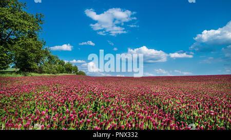 Field of blooming crimson clovers in spring scene. Italian clover. Trifolium incarnatum. Beautiful red trefoil. Idyllic view, trees, horizon. Blue sky. - Stock Photo