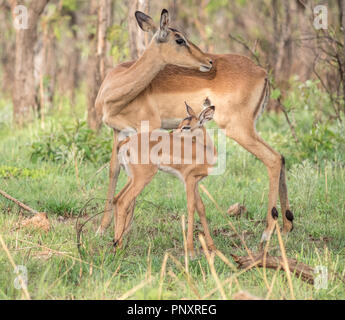 An african impala mother and baby in South Africa! - Stock Photo