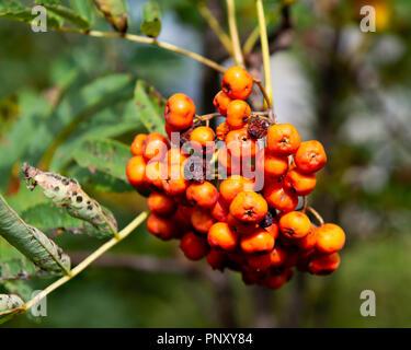 Orange berries on a Mountain-Ash tree, Sorbus Americanus, in early autumn in the Adirondack Mountains, NY USA - Stock Photo