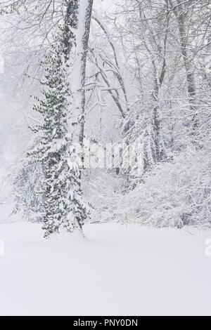 Palm Sunday snowfall coats bushes and a vine climbing a tree at January-Wabash Park. - Stock Photo
