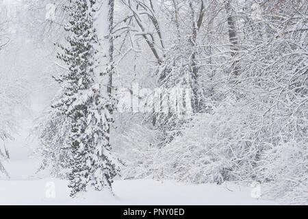 Palm Sunday snowfall coats bushes and a vine climbing a tree at January-Wabash Park. - Stock Photo