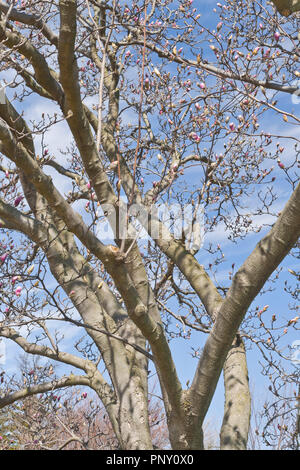 The pink buds of a saucer magnolia tree beginning to bloom stand out against a backdrop of blue sky and wispy white cirrus clouds on a spring day. - Stock Photo