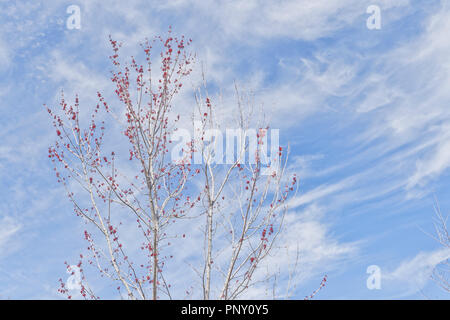 Branches of a budding red maple with wispy white clouds and blue sky in background on a spring day, emulating the color scheme of the American flag. - Stock Photo