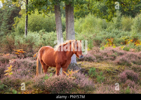 A chestnut brown Icelandic horse grazes in woodland and purple heather at Smart's Heath common, Mayford, Woking, Surrey, UK in autumn