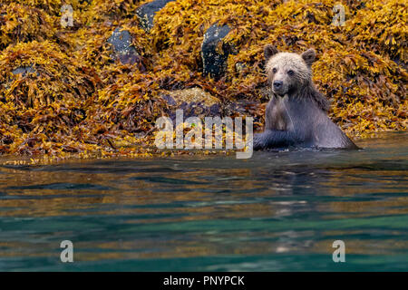 Cute 1/2 year old grizzly bear cub (Ursus arctos) foraging along the low tideline in Knight Inlet, First Nations Territory, Great Bear Rainforest, Bri - Stock Photo