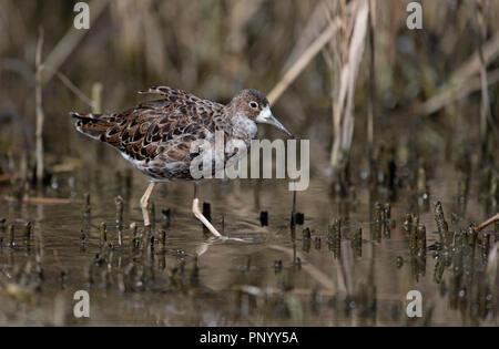 Ruff-Philomachus pugnax. - Stock Photo