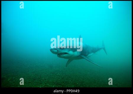 Prod DB © Incentive Filmed Entertainment - Next Films - Sierra Pictures / DR SHARK 3D (SHARK NIGHT 3D) de David R. Ellis 2011 USA requin, horreur - Stock Photo
