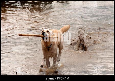 Prod DB © Incentive Filmed Entertainment - Next Films - Sierra Pictures / DR SHARK 3D (SHARK NIGHT 3D) de David R. Ellis 2011 USA chien, labrador - Stock Photo