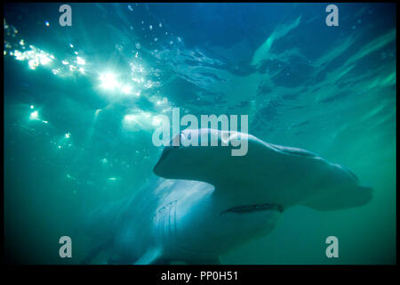 Prod DB © Incentive Filmed Entertainment - Next Films - Sierra Pictures / DR SHARK 3D (SHARK NIGHT 3D) de David R. Ellis 2011 USA requin marteau, horreur - Stock Photo