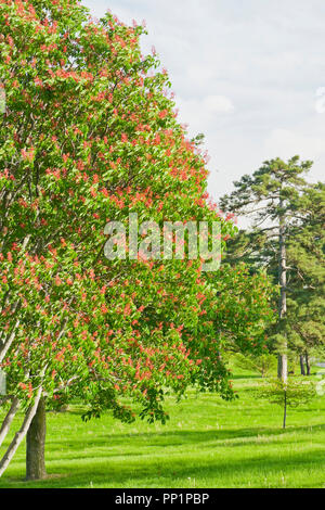 Buckeye trees with red blossoms at St. Louis Forest Park under a sky with creamy clouds after an earlier rain shower on a spring evening in May. - Stock Photo