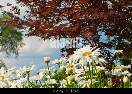 White daisies and a Japanese maple tree with deep red foliage in the Plants of Merit Garden at St. Louis Forest Park on a partly cloudy June summer ev - Stock Photo
