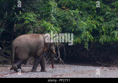 A Borneo Pygmy Elephant (Elephas maximus borneensis) in Danum Valley Conservation Area, Sabah, East Malaysia, Borneo - Stock Photo