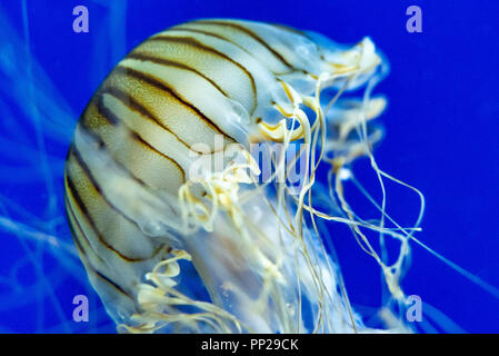 Japanese sea nettle (Chrysaora pacifica) at the Georgia Aquarium in downtown Atlanta, Georgia. (USA) - Stock Photo