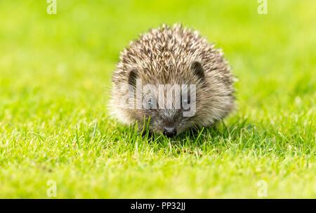 Hedgehog, young, wild, native, European hedgehog, facing forward in natural garden habitat.  Scientific name: Erinaceus Europaeus. Horizontal. - Stock Photo