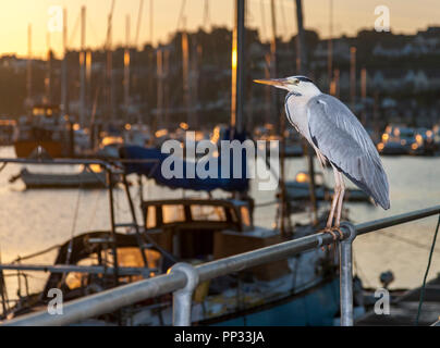 Crosshaven, Cork, Ireland. 28th June, 2018  A Heron perched on railings in the early morning, on the pier at Crosshaven Co. Cork - Stock Photo