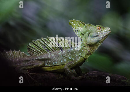 Male emerald basilisk seen from the side in a natural surrounding - Stock Photo