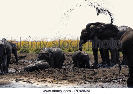 A herd of elephants in the mud - Stock Photo