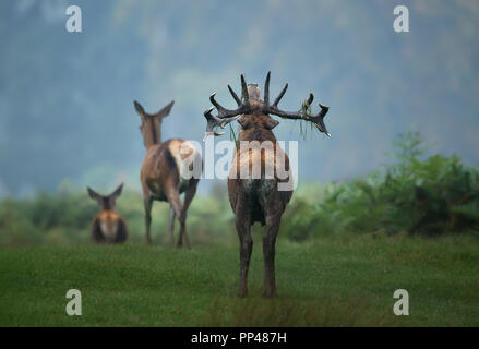 Close up of a red deer roaring at two hinds during rutting season in autumn. - Stock Photo