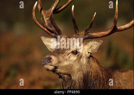 Close up of a red deer stag during the rut in autumn, UK. - Stock Photo