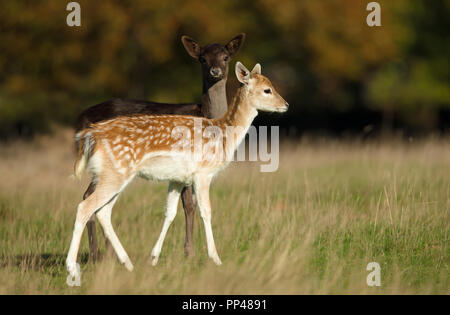 Two young Fallow deer grazing in the meadow, autumn in UK. - Stock Photo