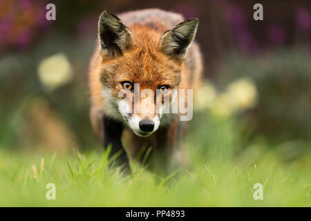 Close up of a Red fox, UK. - Stock Photo