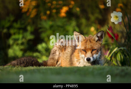 Close up of a Red Fox lying in the back yard by the flower bed in spring, UK. - Stock Photo